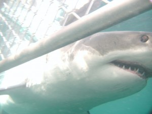 Kaitlyn McConnell swims with great white sharks
